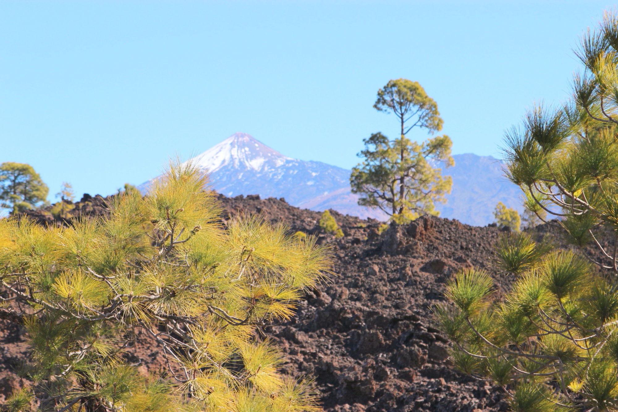 Teide mit Schnee und Kiefernwald2